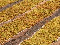 uva-stesa-ad-appassire-per-preparare-il-famoso-passito